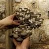 کشف فسیل ۱۱۵ میلیون ساله از قارچ متعلق به دوران دایناسورها